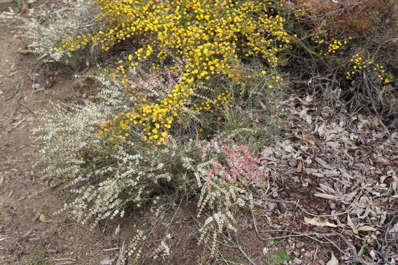 Wildflower garden - Paruna Sanctuary - white myrtle (Hypocalymma angustifolium).
