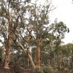 Wildflower garden - Paruna Sanctuary - Powderbark wandoo (Eucalyptus accedens)