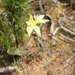 Wildflower garden - Paruna Sanctuary - Common cowslip orchid (Caladenia flava)