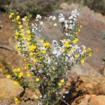 Wildflower garden - Paruna Sanctuary - Prickly Moses (Acacia pulchella) and Bearded Heath (Leucopogon polymorphus)