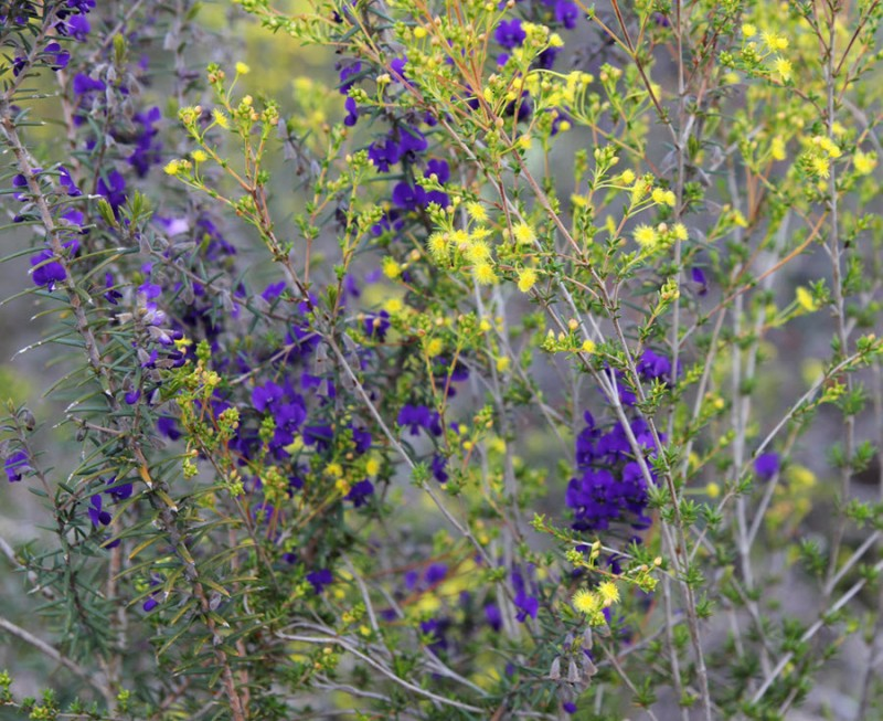 Wildflower garden - Purple Devil's Pins (Hovea pungens) and yellow Featherflower (Verticordia acerosa).