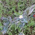 Wildflower garden - Paruna Sanctuary - Lemon– scented Bell (Darwinia citradora) and pink and white everlastings