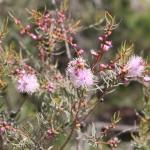 Wildflower garden - Paruna Sanctuary - Pink honeymyrtle (Melaleuca radula)