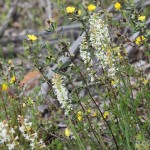 Wildflower garden - Paruna Sanctuary - Yellow Buttercups (Hibbertia sp.) and White candles (Stackhousia heugelii)