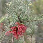 Wildflower garden - Paruna Sanctuary - One-sided Bottle Brush (Calothamnus quadrifidus)