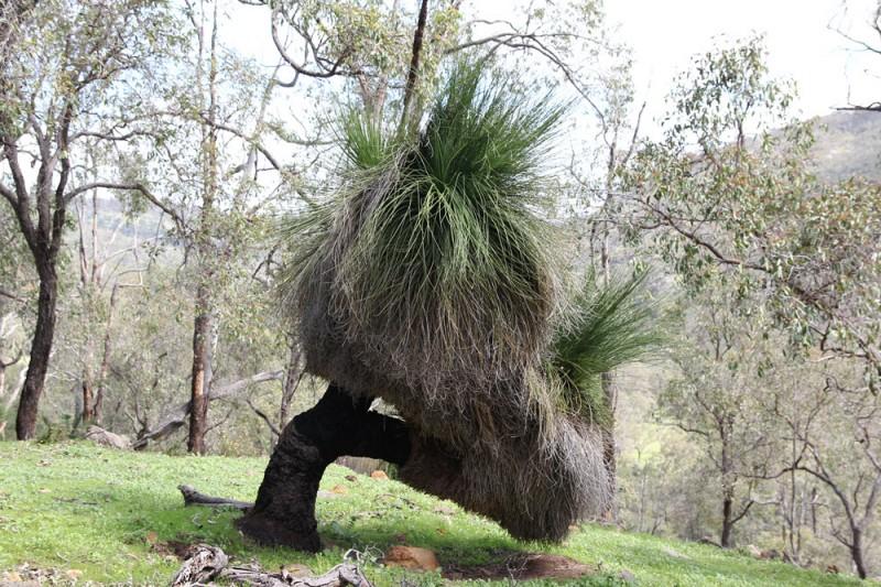 Wildflower garden - Paruna Sanctuary - Grasstree Xanthorrhoea