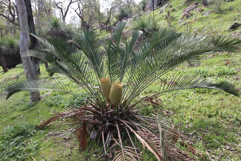 Wildflower garden - Paruna Sanctuary - Macrozamia riedlii showing off some male cones.