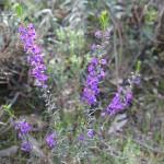 Wildflower garden - Paruna Sanctuary - Hovea pungens