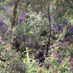 Wildflower garden - Paruna Sanctuary - Hovea
