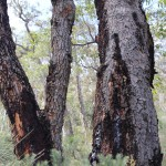 Wildflower garden - Paruna Sanctuary - marri tree