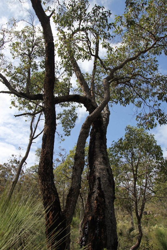 Wildflower garden - Paruna Sanctuary - marri tree - Corymbia calophylla