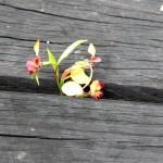 Wildflower garden - Paruna Sanctuary - Donkey orchid (Diuris corymbosa) poking through the boardwalk