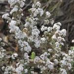 Wildflower garden - Paruna Sanctuary - Bearded Heath (Leucopogon polymorphus)